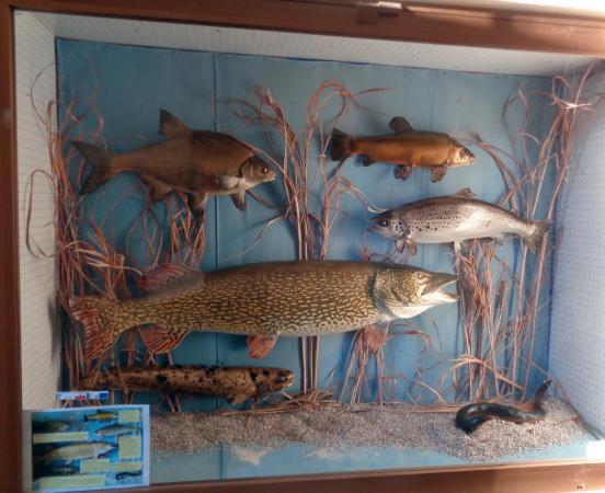 Vitrine mit Fischpräparaten. (Bild: Freunde der Archäologie)