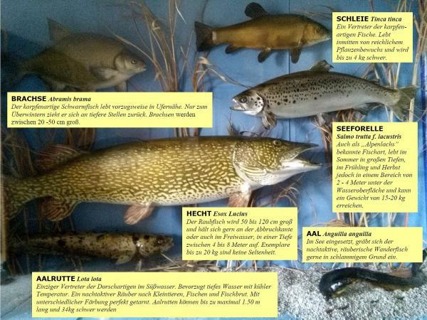 Vitrine mit Fischpräparaten aus dem Attersee. (Bild: Freunde der Archäologie)