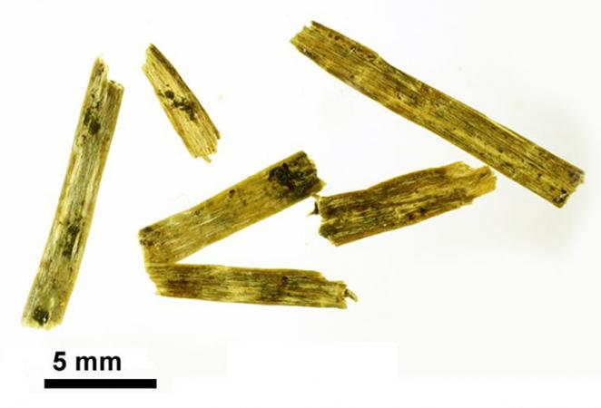 Flachsstängelfragmente aus Zürich-Parkhaus Opéra um 3175 v.Chr. (Bild: S. Jacomet)