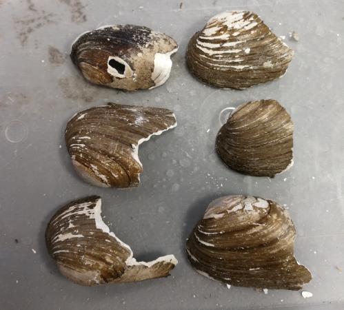 Warum sind fast alle größeren Bachmuschel-Reste schräg abgehackt?