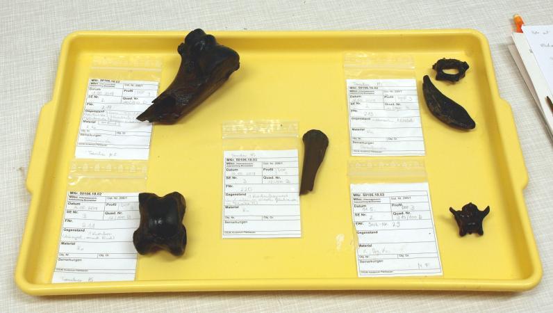 Eine Auswahl von Knochenfunden der heurigen Kampagne. (Foto: Doris Jetzinger - Team Zeitensprung)