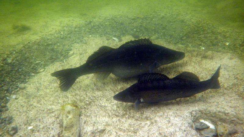 Zander auf der Untiefe im Keutschacher See. Zum Laichen fächeln sie die schützende Deckschicht über den Befunden weg. (Bild: Kuratorium Pfahlbauten)