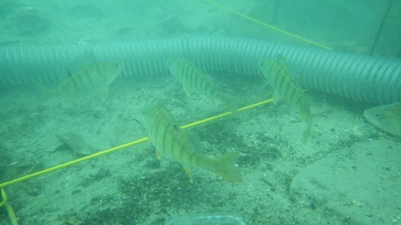 Die Fische waren mit den Einrichtungen der Taucher nicht glücklich und hielten Kriegsrat unter Wasser. (Bild: Kuratorium Pfahlbauten - H. Pohl)